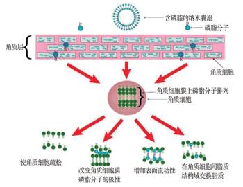 含磷脂分子的脂质体透皮机制